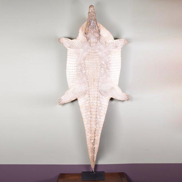 Rare albino crocodile Skin